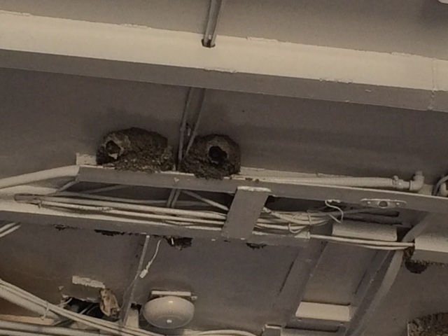 Swallows nests under the roof of the ferry.